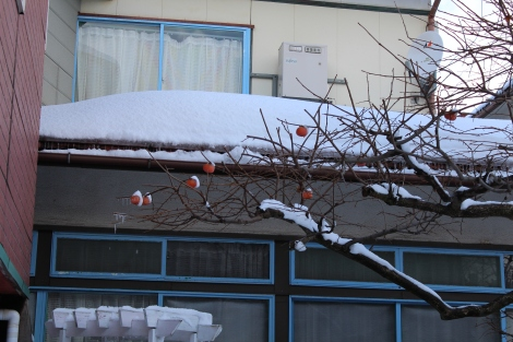 Persimmons or kaki growing in the winter